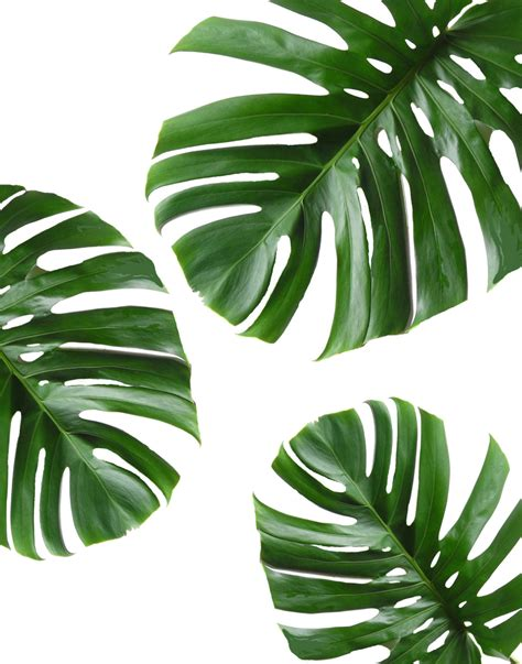 printable leaf art tropical leaf printable art monstera leaves by