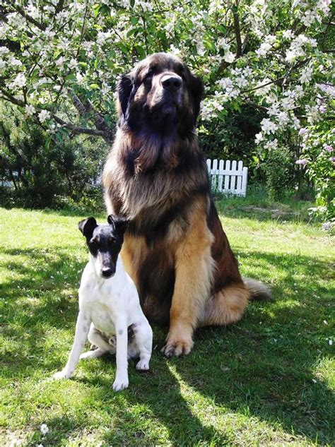 leonberger puppies ohio 101 best images about dogs and cats living together mass hysteria on