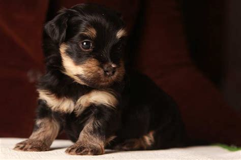 a havanese not to bark theodore the mischievous black and puppy unavailable akc havanese puppies