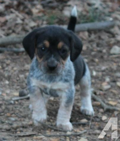 beagle puppies for sale in virginia beagle puppies for sale in shenandoah virginia classified americanlisted