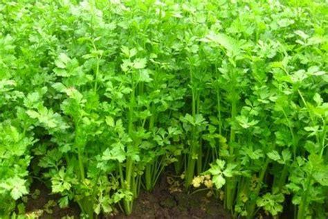 Bibit Wortel China tanaman obat seledri kesehatan herbal