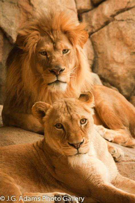 difference between lion and lioness lion the ultimate cat website