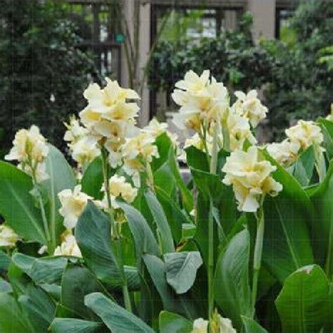 bonsai fiori bianchi acquista all ingrosso bonsai piante di casa da