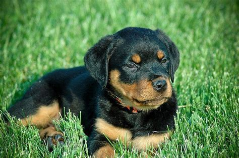 rottweilers facts what everyone should about rottweilers image breeds picture