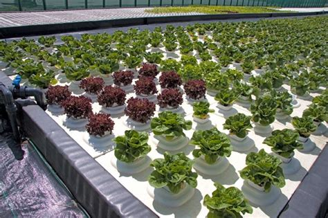 coltivazione idroponica in casa la coltivazione idroponica fare giardinaggio