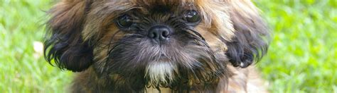 shih tzu food recommendations top 6 recommended best foods for a shih tzu
