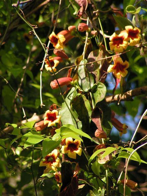 id flowering vine  trumpet shaped flowers