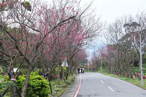 700 cherry tree road cherry blossom tunnel at fuxing 3rd road taipei travel