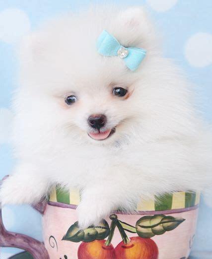 teacup pomeranian for sale in miami 62 best images about teacup pomeranians pomeranian puppies on teacup