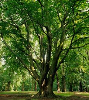 define tree beech american a profile of a tree howstuffworks