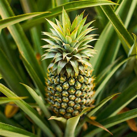 edible indoor pineapple plant ananas comosus yougarden