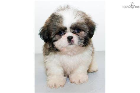shih tzu rescue columbus ohio shih tzu puppy for sale near columbus ohio 1bf31143 18f1