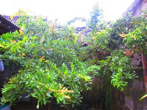 Bibit Pohon Kenikir dhanosaurus mini garden