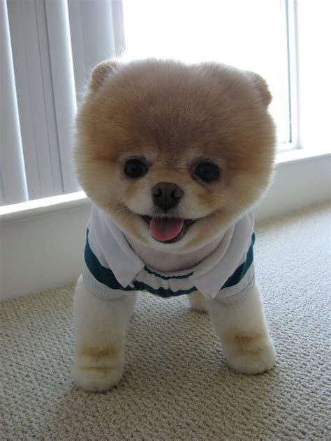 cutest puppy in the world boo boo the cutest in the world images boo