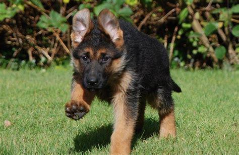 german shepherd puppies colorado exceptional german shepherd puppies available lancashire pets4homes
