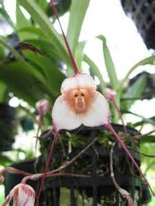 monkey orchid monkey orchid flowers and garden stuff