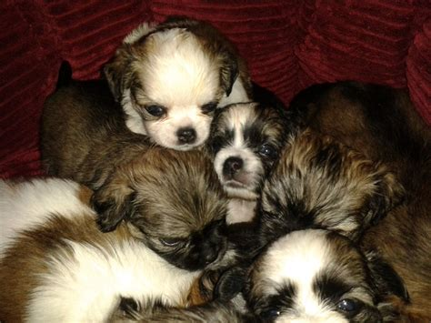 chihuahua and shih tzu puppies shih tzu x chihuahua puppies peterborough cambridgeshire pets4homes