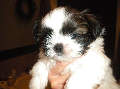 shih tzu 6 weeks akc shih tzu puppy oreo at 6 weeks the shih tzu site shih tzu puppies shih