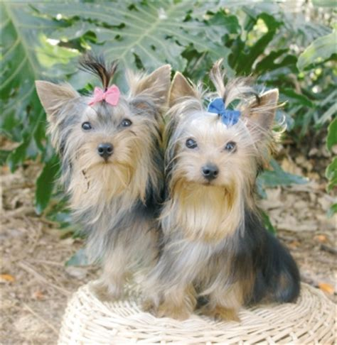 tea cup yorkies hair type dental health issues in yorkie dogs just another