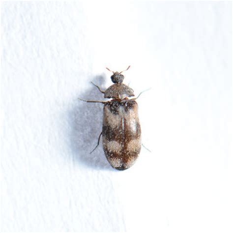 käfer wohnung bestimmen speckk 228 fer dermestes lardarius preventa sch 228 dlingslexion