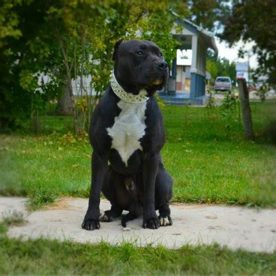 black pitbull puppies for sale blue nose pitbull puppies for sale blue pitbull pitbulls