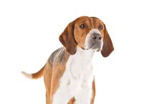 Dog english foxhound articles | 2puppies.com Dog
