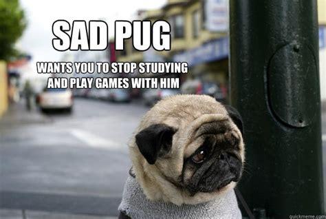 pug studying sad pug wants you to stop studying and play with him sad puglorin quickmeme