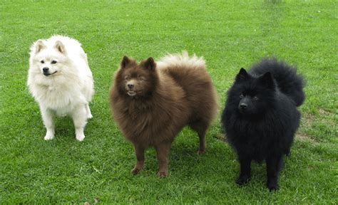 german spitz puppies german spitz breed standards