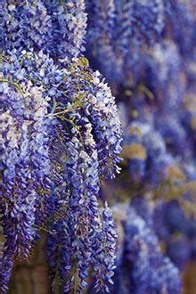 1000 images about wisteria on pinterest volubilis