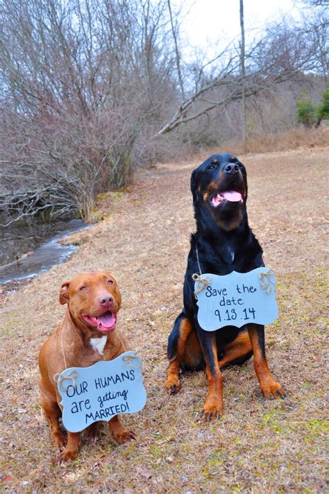 rottweilers and pitbulls save the date taken by smith rottweiler and pitbull dogs our humans are