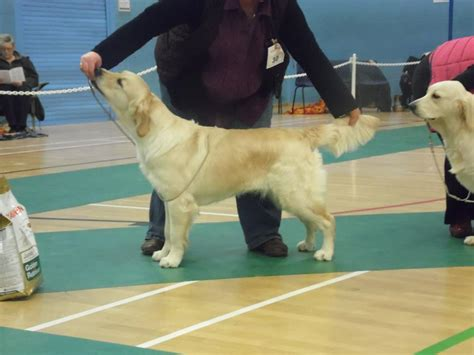 golden retriever club northern golden retriever club uk dogs in our photo