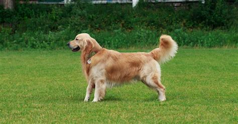 sixteen months at the gold diggings classic reprint books resourceful golden retriever finds 85 000 of heroin in