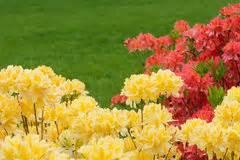 fiori simili ai rododendri rododendri gialli immagine stock immagine di pianta