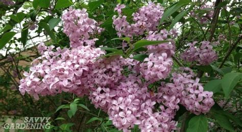 early flowering shrubs viburnum pruning early summer is time to prune