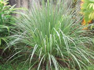 Mosquito Spray For Backyard Crops In Pots Eastern Promise Growing Lemongrass