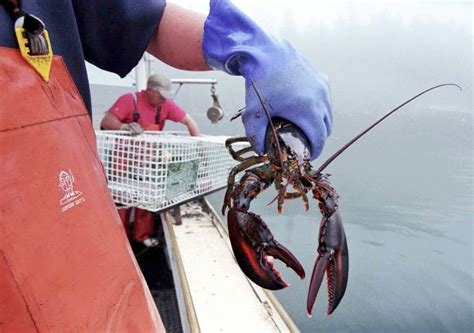 lobster boat sternman maine lobster fishermen hauled record catch in 2014