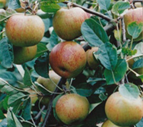 bernwode fruit trees apple trees from bernwode fruit trees traditional