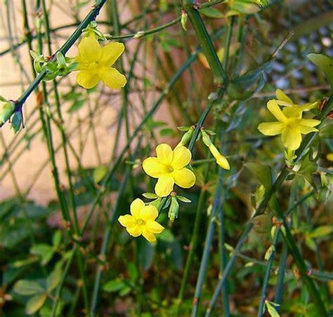 gelsomino giallo in vaso gelsomino d inverno g di s giuseppe jasminum