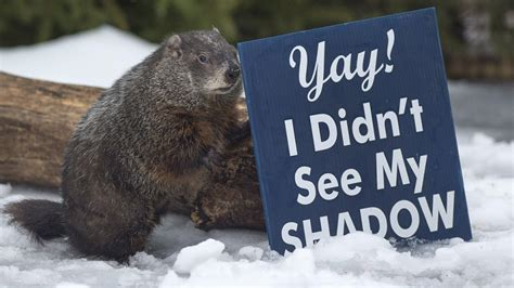 groundhog day in canada clash of the groundhogs conflicting predictions pop up