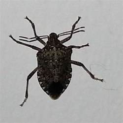 stink bugs in house identify and control stink bugs