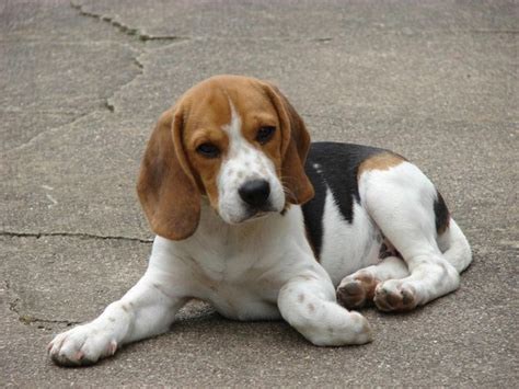 beagle hound puppies 198 best images about beagle on beagles beagle puppies and basset hound mix