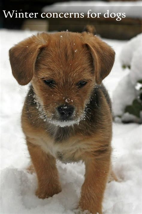 how are dogs considered puppies winter concerns safety tips dogvills