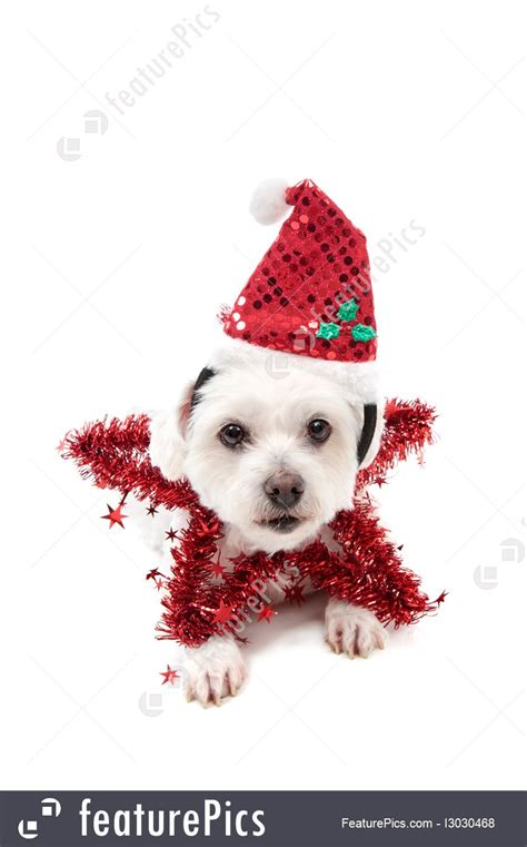 pets pretty christmas star dog stock picture   featurepics