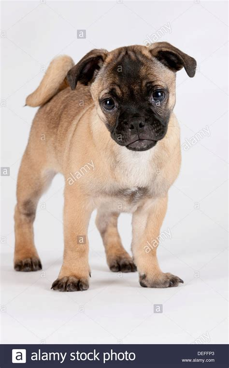 retro pug breeder retro pug puppy austria stock photo royalty free image 60577947 alamy