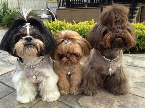 shih tzu hair cuts pictures shih tzu grooming styles hairstylegalleries