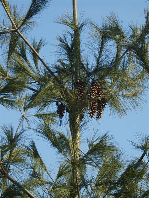 white pine cone file pinus strobus cones jpg wikimedia commons