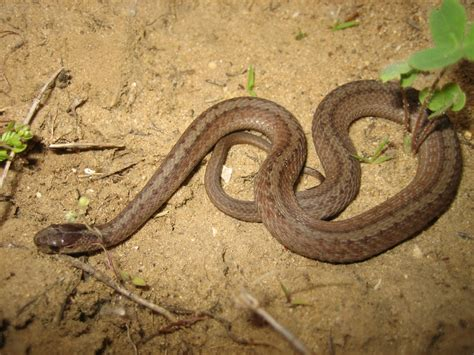 Light Brown Snake by Brown Snake Storeria Dekayi Reptiles And Hibians Of