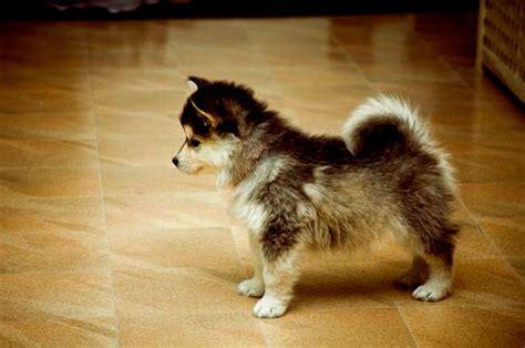 how big do pomeranian husky mix get pomsky puppies or not you be the judge i pets