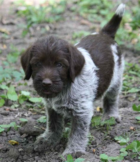 wirehaired pointing griffon puppy wirehaired pointing griffon korthals griffon breed info images