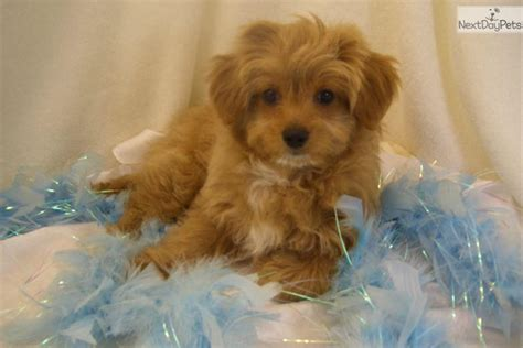 chipoo puppies chi poo chipoo puppy for sale near springfield missouri c56f1914 5131